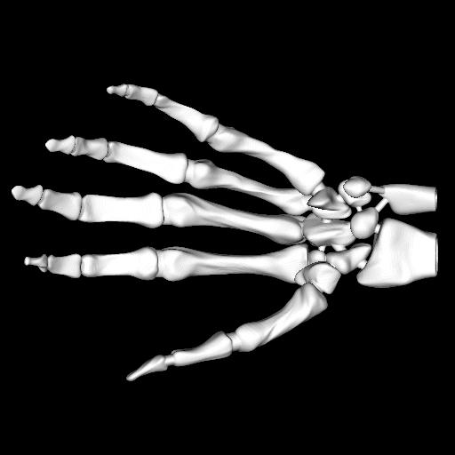 Model : Skeleton Hand